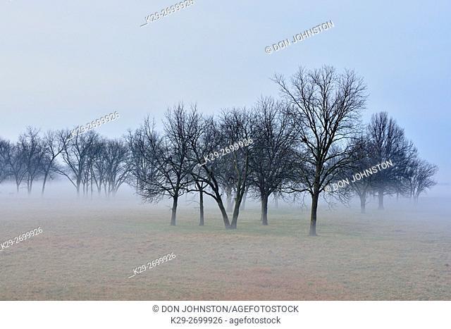 Oak trees in a foggy pasture near Route 66, Vinita, Oklahoma, USA