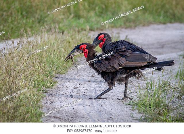 Southern ground hornbill with a frog kill in the Chobe National Park, Botswana