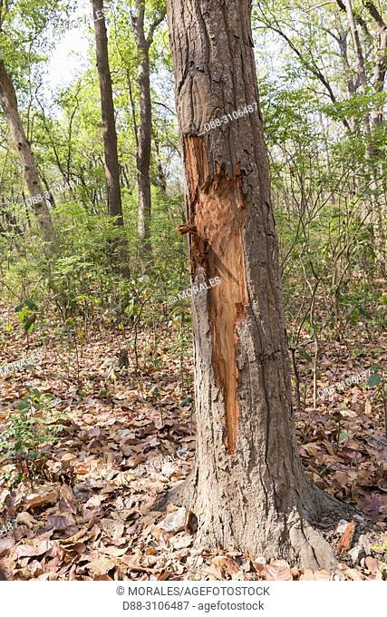 Asia, India, Uttarakhand, Jim Corbett National Park, Tree destroyed by Asian or Asiatic elephant (Elephas maximus)