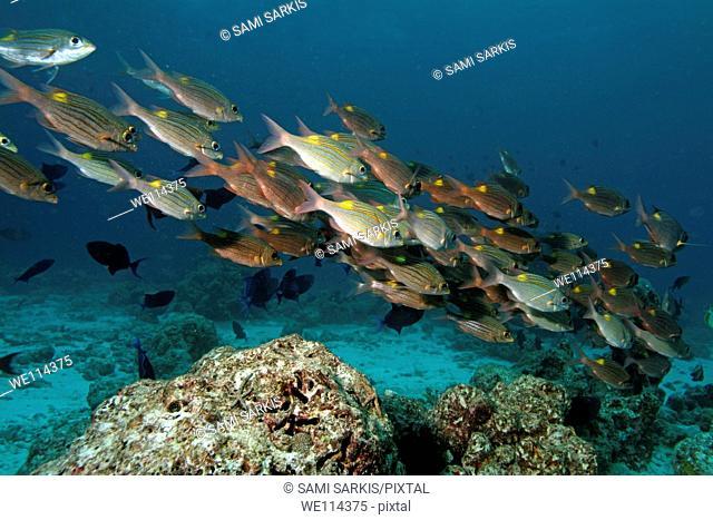 Maldives baa atoll nelivaru school of school of gold spot emperors fishes gnathodentex aurolineatus