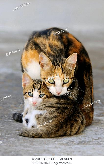 Junges Hauskaetzchen liegt neben seiner Mutter, Katzen, Kykladen / Kitten and mother cat side by side, Cyclades, Greece