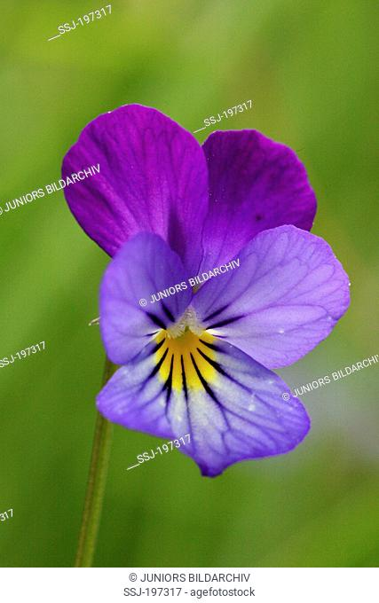 Wild Pansy, Heartsease (Viola tricolor), single flower. Germany