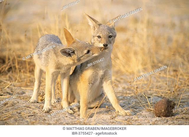 Black-backed Jackals (Canis mesomelas), North-West District, Botswana