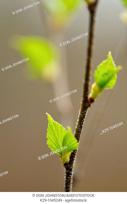 White birch Betula papyrifera Emerging leaves