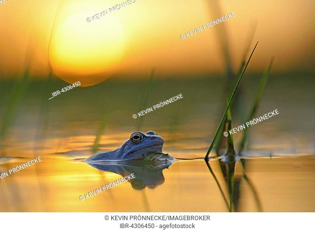 Moor frog (Rana arvalis), blue coloured male during mating season, in spawning waters, sunset, Elbe, Saxony-Anhalt, Germany