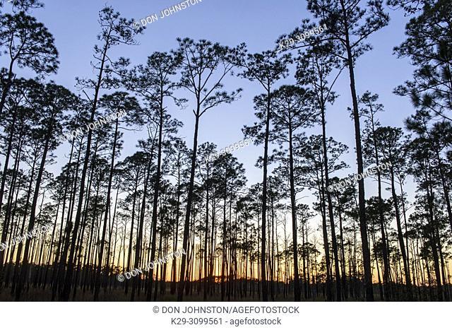 Pine woodland at sunset, Big Branch NWR, Boyscout Road, Lacombe, Louisiana, USA