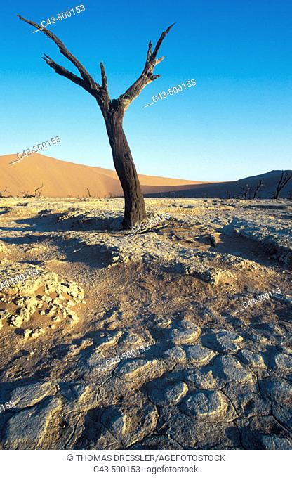 Dead camelthorn tree (Acacia erioloba) in the so-called 'Dead Vlei', a dry pan in the centre of the Namib Desert. Namib-Naukluft Park, Namibia