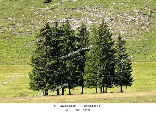 Fir trees on Plateau des Glières, Alps, France