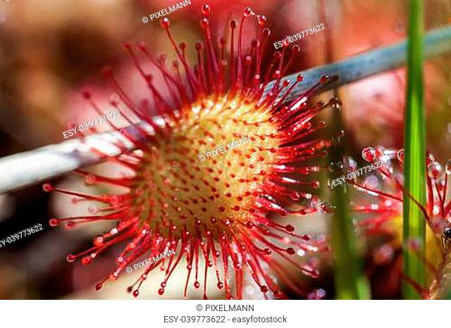 Round-leaved sundew - Macro of the tentacles with their sticky secretion