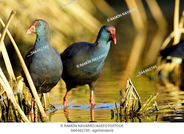 Purple Swamphen (Porphyrio porphyrio). Doñana National Park. Huelva. Andalucia. Spain
