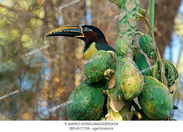 Chestnut-Eared Aracari (Pteroglossus castanotis) on a mango tree, Pantanal, Mato Grosso, Brazil
