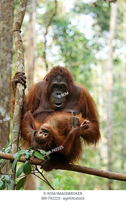 Bornean Orangutan (Pongo pygmaeus) with young at Tanjung Puting National Park, Central Kalimantan, Borneo, Indonesia, Asia