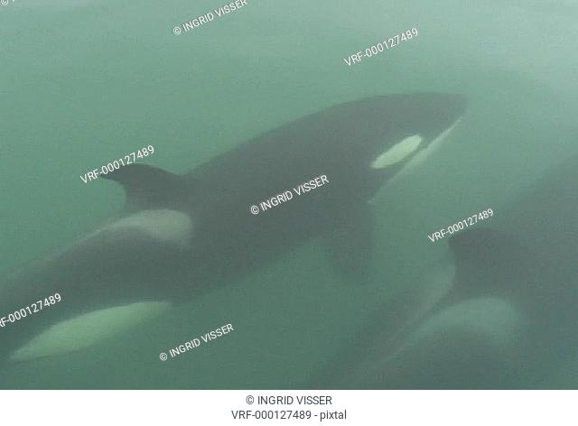two orcas, killer whales, bow-riding. Auckland, New Zealand