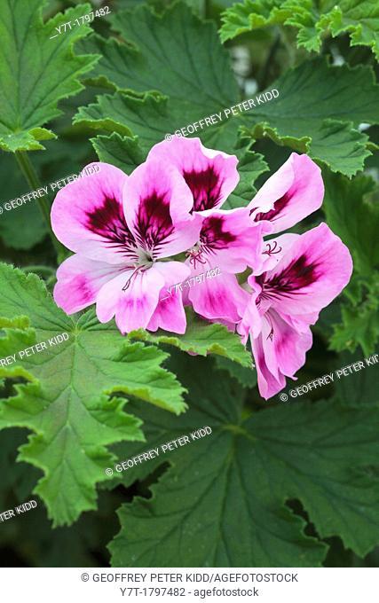 Pelargonium Orsett'. Photographed in garden, UK