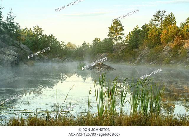 Maple tree and grasses on shore of a beaver pond at dawn in early autumn, Greater Sudbury, Ontario, Canada