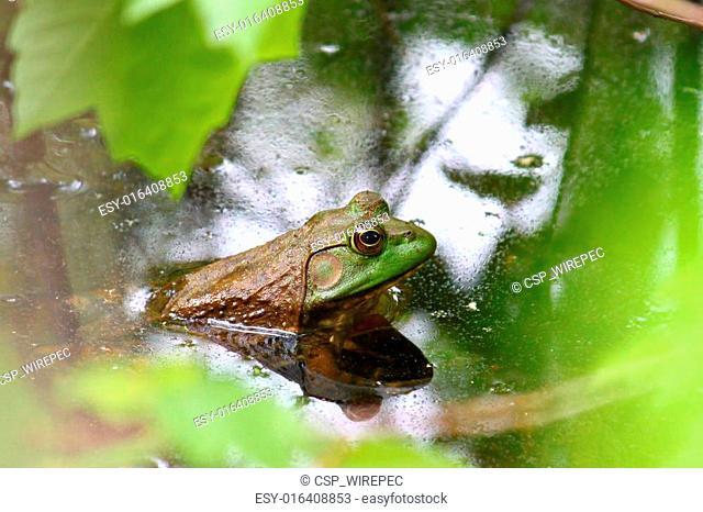 Bullfrog (Rana catesbeiana)