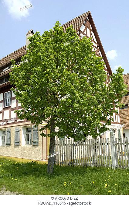 Large-leaved Lime Bavaria Germany Tilia platyphyllos