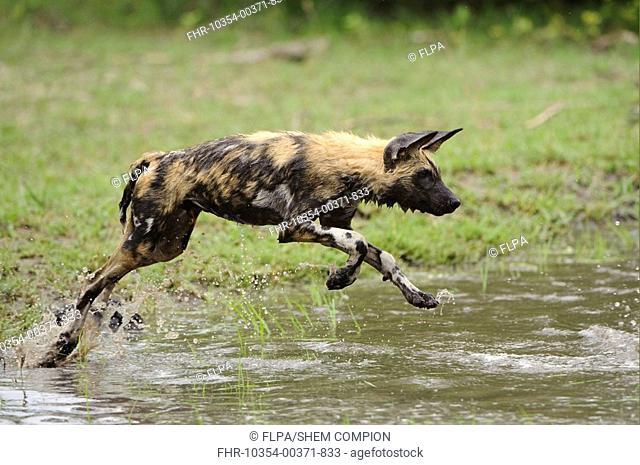 African Wild Dog Lycaon pictus pup, running, playing in water, Kwando Lagoon, Linyanti, Botswana
