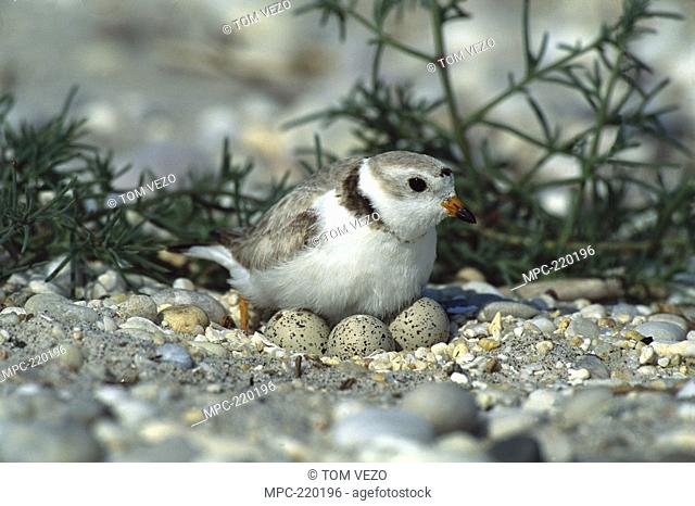 Piping Plover Charadrius melodus, parent in incubating three eggs on ground nest, Long Island, New York