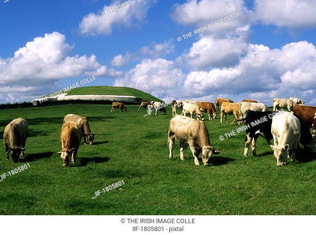 Charolais Cattle, Newgrange, Co Meath, Ireland