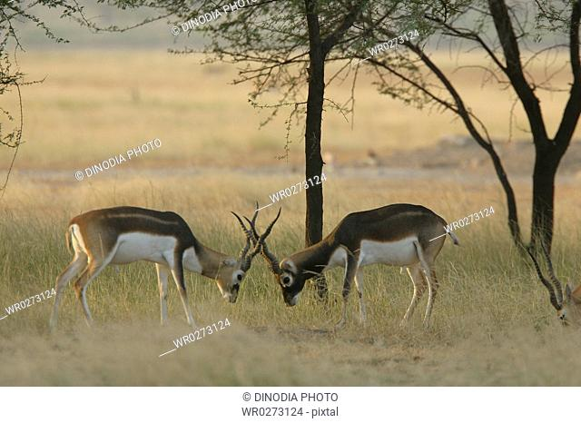 Sparring male Blackbucks Antelope cervicapra , Talchapar Sanctuary , Rajasthan , India