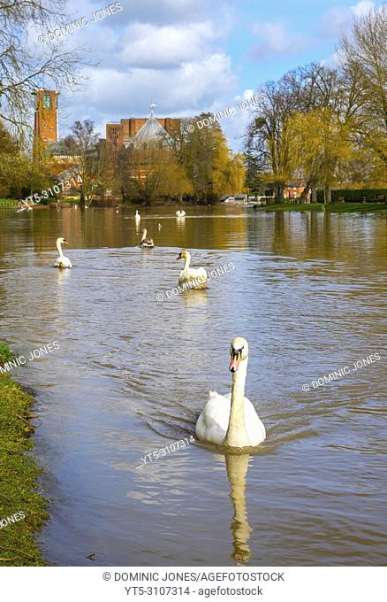Swans on the Avon with the Royal Shakespeare Theatre in the background, Stratford Upon Avon, England, Warwickshire, England, Europe