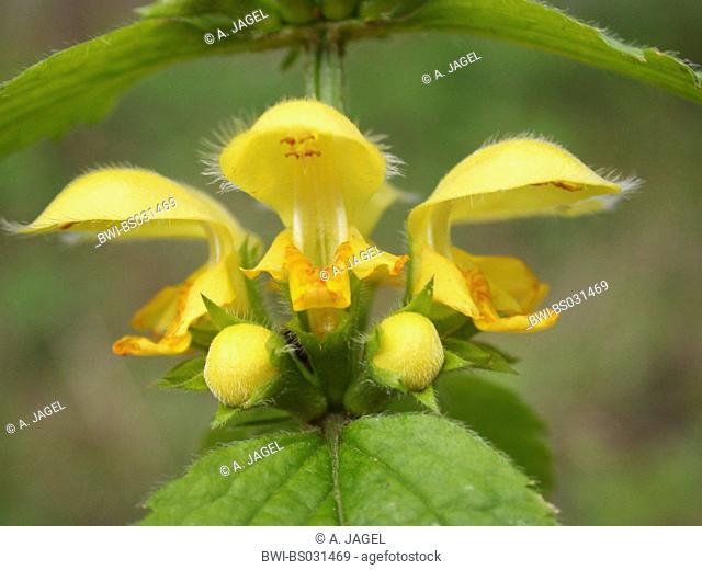 Yellow Archangel (Lamium argentatum. Galeobdolon luteum fo. argentatum), whirl of flowers