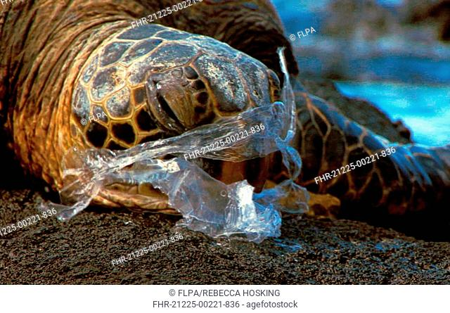 Pacific Green Turtle Chelonia mydas agassisi adult female, suffocating on injested plastic bag, mistaken for jellyfish, Big Island, Hawaii, june