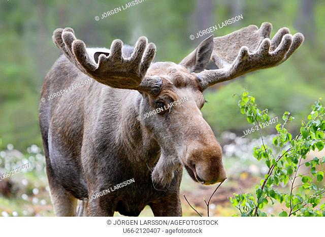 Moose bull, Dalarna, Sweden