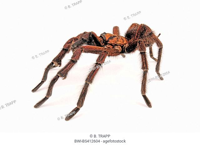 Haitian brown tarantula, Spaniolan giant tarantula  (Phormictopus cancerides), in defence posture, cut-out