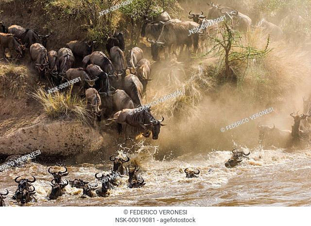 Blue Wildebeest (Connochaetes Taurinus) crossing Mara River, Kenya, Masai Mara NR
