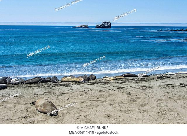 Seal colony on a beach on Piedras Blancas, Big Sur, California, USA