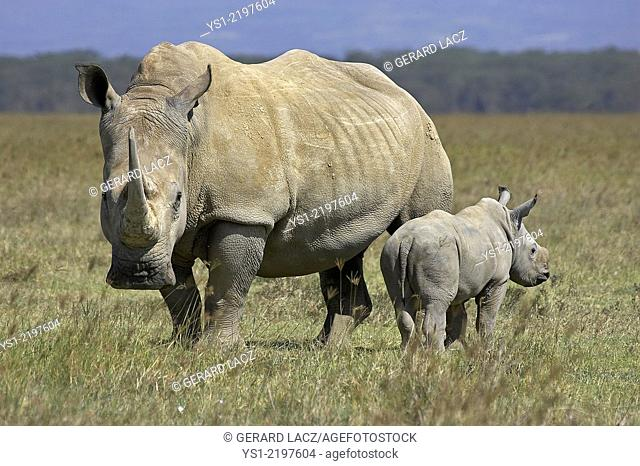 WHITE RHINOCEROS ceratotherium simum AT NAKURU PARK IN KENYA