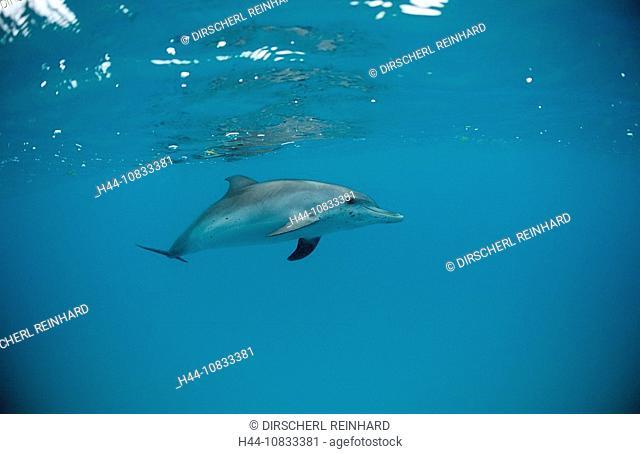 Atlantic spotted dolphin, Stenella frontalis, USA, America, United States, North America, FL, Florida, Atlantic Ocean