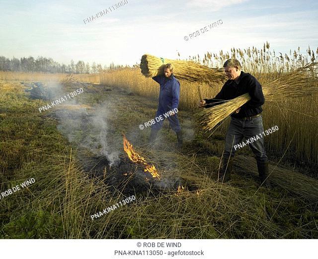 Common Reed Phragmites australis