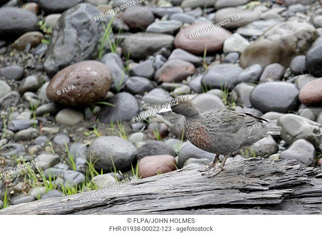 Blue Duck (Hymenolaimus malacorhynchos) adult, standing on log, Tongariro River, North Island, New Zealand, March