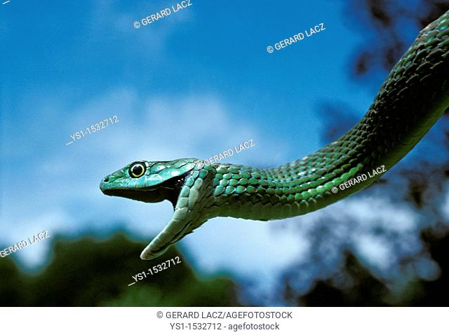 Spotted Bush Snake, philothamnus semivariegatus, Adult hanging from Branch with Open Mouth, Africa