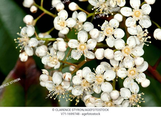 Red Tip Photina sp. Flower