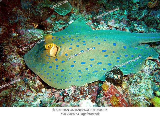Blue spotted Ray, Raja Ampat, Papua, Indonesia, Southeast Asia