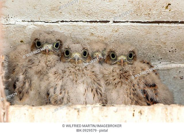 Young Kestrels (Falco tinnunculus) in nest box, North Hesse, Hesse, Germany