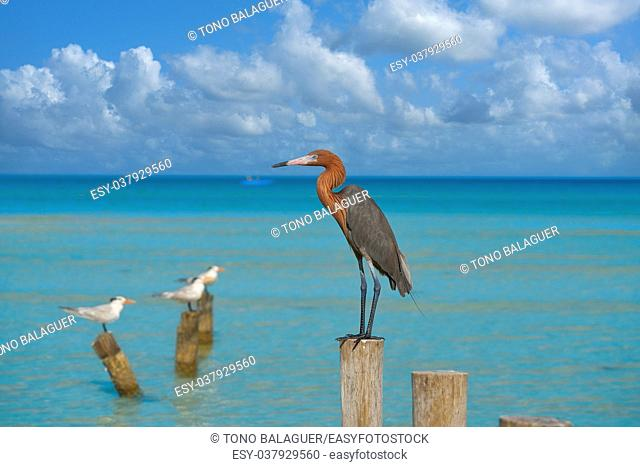 Egretta rufescens or Reddish Egret heron bird in Caribbean sea