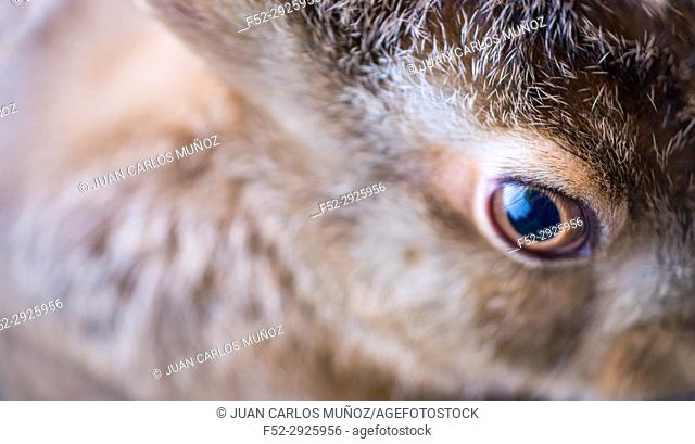 European hare - Liebre europea (Lepus europaeus), also known as the brown hare, Navarra, Spain, Europe