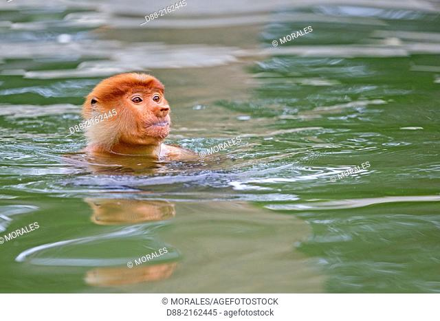 Asia,Borneo,Malaysia,Sabah,Labuk Bay,Proboscis monkey or long-nosed monkey (Nasalis larvatus),swimming