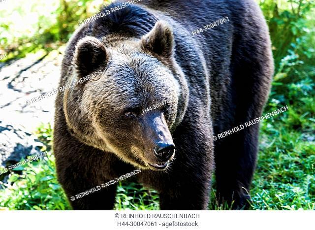 Der Braunbär - ursus arctos - gehört zu den großen Landraubtieren