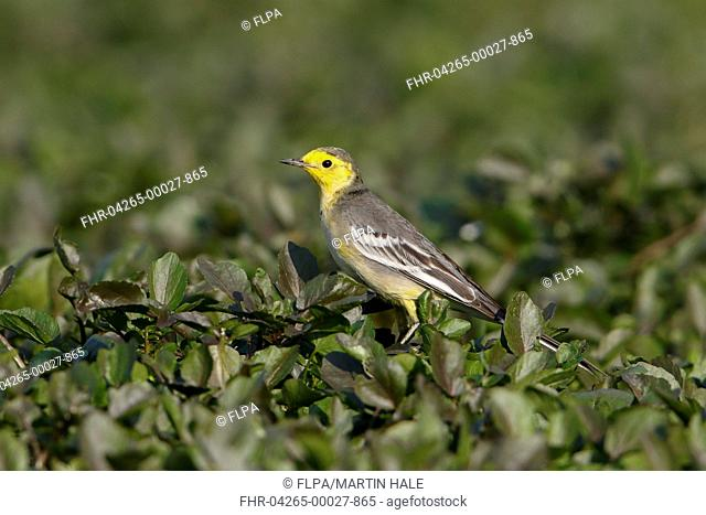 Citrine Wagtail (Motacilla citreola) immature male, first winter plumage, perched on vegetation, Long Valley, New Territories, Hong Kong, China, January