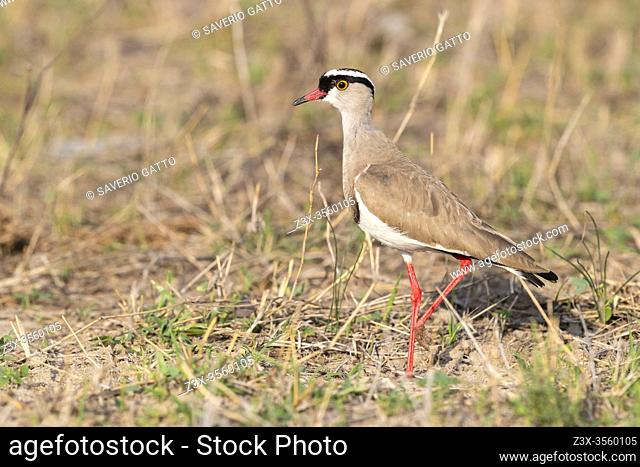 Crowned Lapwing (Vanellus coronatus), side view of an adult standing on he ground, Mpumalanga, South Africa