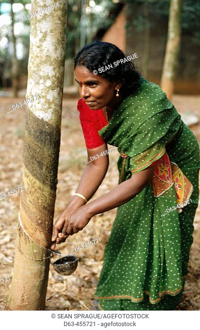 Rubber farmer Amirdebai cutting rubber tree bark for harvesting latex. Tamil Nadu. India