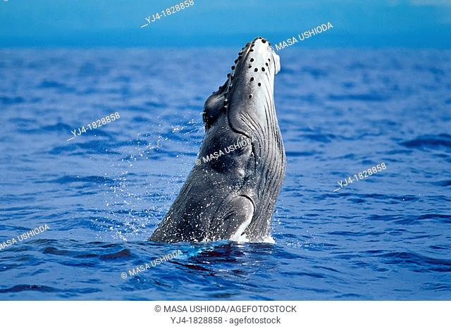 humpback whale, Megaptera novaeangliae, head breaching calf with smooth, light gray color characteristic of a newborn, approximately 12 feet in length and...
