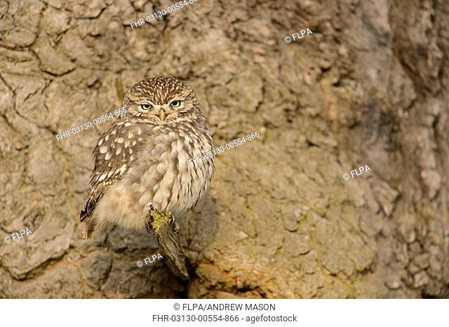 Little Owl (Athene noctua) adult, roosting in oak tree, Admaston, Staffordshire, England, December