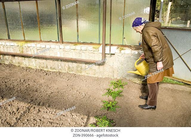Alte Bäuerin gießt Tomatenstecklinge in einem Gewächshaus